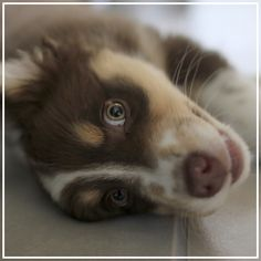 Oy, the Australian Shepherd