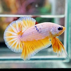 Live Betta Fish Male TOP ONE Fancy Marbled White Mustard Claw Halfmoon Plakat