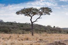 Where is the third Cheetah? | Masai Mara. | Kenya. |   www.ingogerlach.com