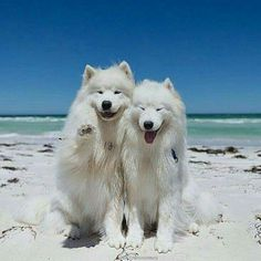 White Wolf, Samoyed, Polar Bear, Animals Beautiful, Husky, Dogs, Wolves, Twitter, City
