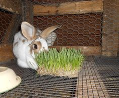 Growing Your Own Rabbit Feed – Hase Rabbit Farm, Rabbit Run, House Rabbit, Rabbit Toys, Rabbit Fence, Raising Rabbits For Meat, Meat Rabbits, Bunny Rabbits, Lionhead Bunnies
