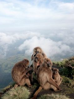 Gelada Monkeys  Credit: Photograph by Clay Wilton.  A gelada reproductive unit on the edlge of a cliff. Three adult females sit with their infants (foreground) while their leader male looks on (background).