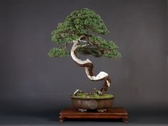 About The Art of Bonsai Project. An effort to explore the aesthetic and artistic elements of bonsai, including technical composition, presentation, display and other ways in which bonsai impacts the human eye and soul. Pre Bonsai, Bonsai Art, Bonsai Garden, Outdoor Bonsai Tree, Indoor Bonsai, Lakeside Garden, Juniper Bonsai, Miniature Trees, Matte Painting