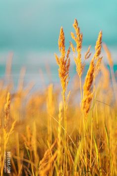 Nature photography Vintage summer seaside gold golden yellow grass. Modern home decor. Close to the sea. Home decor 10x15 on Etsy, $21.62 CAD