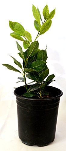 Growing Bay Laurel~ How to care for your Bay tree