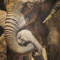 I've got you baby. Elephant World, Elephant Day, Elephant Images, Elephant Parade, African Elephant, Elephants Never Forget, Save The Elephants, Baby Elephants, Elephant Trekking