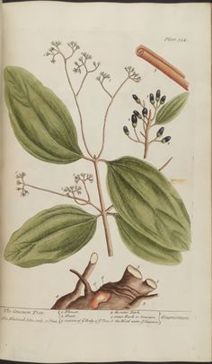 Cinamon Tree, 1739, Elizabeth Blackwell, A curious herbal ;containing five hundred cuts, of the most useful plants, London; Printed for Samuel Harding, Vol. #2, Plate 354
