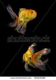 Beautiful Goldfish Isolated Black Background