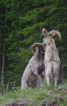 Amazing photo of bighorn sheep battling for breeding rights in Yellowstone Park Photo Submission to our website's outdoor forum by Jane D. Alaska, Animals With Horns, Hunting Themes, Big Horn Sheep, Big Game Hunting, Picture Story, Alpacas, Photo Archive, Cattle