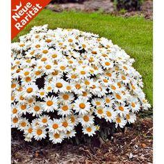 Best Leucanthemum uWhoops a Daisy u Pflanzen