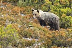 La Fundación Oso Pardo pide multiplicar esfuerzos para evitar conflictos entre humanos y osos | SoyRural.es