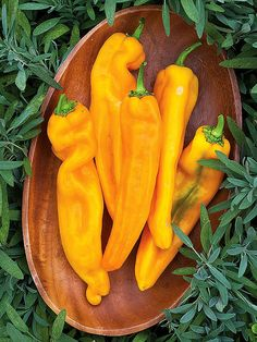 """""""Good as Gold' Sweet Pepper:   It produces a seemingly endless harvest of 7"""" long savory peppers that start out green but gradually turn golden-orange when mature."""