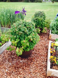 Wood chips as ground cover highlight the Raspberry shortcake plants second year. Modern Landscape Design, Modern Landscaping, Backyard Ideas, Garden Ideas, Easy Garden, Highlight, Raspberry, New Homes, Chips