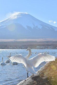 Swans in Lake Yamanaka, Mt. Fuji ハクチョウが優雅な姿を見せる山中湖 =山梨県山中湖村