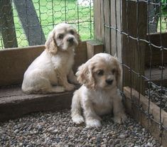 Cocker Spaniel Puppies For Sale Cocker Spaniel For Sale, American Cocker Spaniel, Spaniel Dog, Spaniels, Dog Breed Info, Cockerspaniel, Cute Animal Pictures, Dog Breeds, Cute Dogs