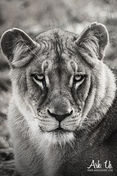 Poster portrait artistique d'une lionne en noir et blanc au regard touchant 30x45cm