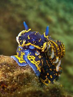 Sea Slug -  Nudibranch Hypselodoris Picta