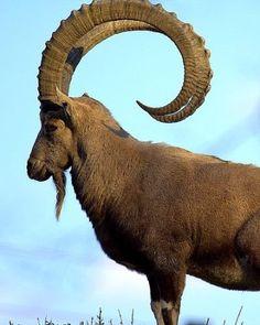animales con cuernos grandes en kenia