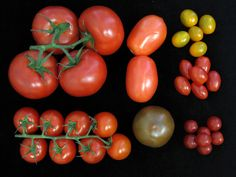 Farmers want tomato varieties that yield more fruit. Consumers want tastier ones. How to resolve that tension? A new genetic toolkit could help growers maximize the best of both worlds.
