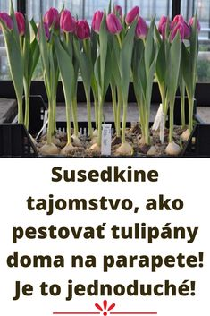 Susedkine tajomstvo, ako pestovať tulipány doma na parapete! Je to jednoduché! Plants, Plant, Planets