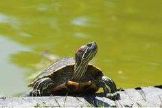 Pet Turtles, Aquatic Turtle Tank Ideas, Pet Turtle Ideas, Pet Turtle ...