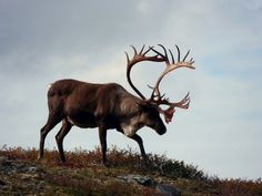 hunting caribou in Alaska, I've been really close to a bou, bigger than this guy. Animal 2, Animal Games, Caribou Hunting, Canadian Wildlife, Big Game Hunting, Deer Family, Reno, Churchill, Mammals