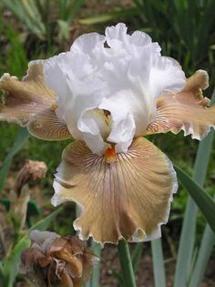 ✯ Iris Coffee Whispers (....cr.....oh, so pretty...love the beige and white iris)