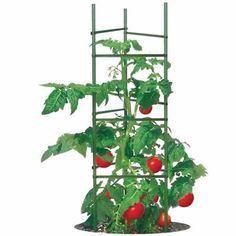Here's the cage to match all tomato plant cages. It's the ultimate, or so its name says and it's designed to hold the heaviest of tomatoes (or other veggies) growing in your garden.