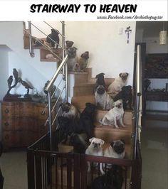 Stairway to heaven pugs!  :)