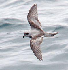 Fork-tailed Storm Petrel Oceanodroma furcata - Google Search