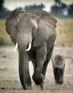 Elephant & babe