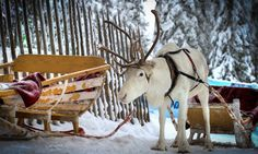 Santa's reindeer, Rovaniemi, Finland