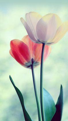 29 Ideas De Fondos De Pantalla Tulipanes Fondos De Pantalla Tulipanes Tulipanes Flores Tulipanes