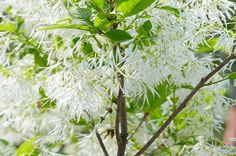 Top 6 Pink and White Spring-Blooming Trees - Birds and Blooms~ White Fringe Tree Spring Blooming Trees, Spring Birds, Spring Blooms, Spring Flowers, Eastern Redbud Tree, Fringe Tree, Autumn Leaf Color, Spring Scene, Blue Fruits