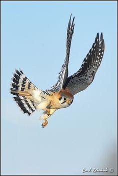 More American Kestrel shots. Cute Birds, Pretty Birds, Beautiful Birds, Zoo Animals, Animals And Pets, World Birds, Japanese Drawings, Bird Wings, Bird Pictures