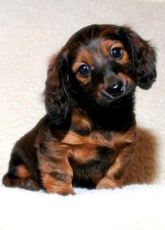 Dachshund – Friendly and Curious Dachshund Funny, Dachshund Puppies, Dachshund Love, Cute Puppies, Pet Dogs, Dogs And Puppies, Dog Cat, Doggies, Animals And Pets