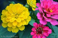 Pink and yellow zinnias