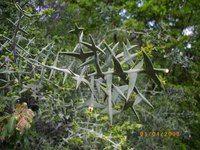 Коллеция крестовидная - Colletia cruciata Gill. & Hook.,  сем. Крушиновые, Rhamnaceae. Никитский ботанический сад. Родина: Южная Бразилия, Уругвай.