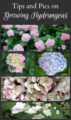 Learn tips growing hydrangeas - Specifically Hydrangea Macrophylla, how you can…