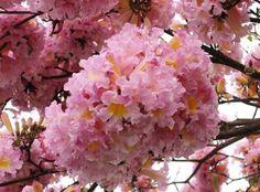 Tabebuia Rosea Tree 15/60/200/500 Seeds, Pink Poui Flowering Garden Ornamental Trumpet by ThePlantAttraction on Etsy https://www.etsy.com/listing/286815523/tabebuia-rosea-tree-1560200500-seeds