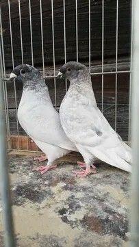 Pigeon Pictures, Pigeon Breeds, Pakistan, Pigeon