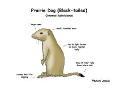 Prairie Dog (Black-tailed)
