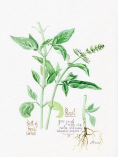 Kitchen poster Basil herbs and spices by VerbruggeWatercolor, $19.00