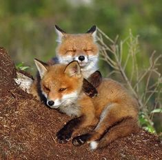 Red Fox Cubs by Johnny Olsson Animals And Pets, Baby Animals, Cute Animals, Fox Pups, Fox Pictures, Fox Illustration, Pet Fox, Most Beautiful Animals, Wild Dogs