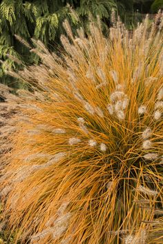 Dwarf Fountain Grass - Monrovia - Pennisetum alopecuroides 'Hameln' Why: Fluffy, buff-colored plumes arching above foliage which turns golden-russet in fall. Terrific contrast used among shrubs or as a backdrop with other waterwise plants.  What: Full sun. Reaches up to 3 ft. tall and 2 ft. wide. Zone: 4 – 11  How: A great choices for smaller gardens, containers, and city courtyards.