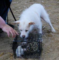 Evie's 1st Barn Hunt training session