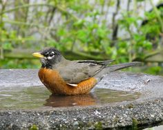 Love watching robins take their baths. I always have a little visitor taking a stroll through my garden and taking a dip in my bird bath!
