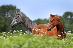 Arabian colts by © Tosca Sütö, posted via www.equine-photo.de