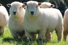 On this week's 'Weird Sheep', we have yet another English breed and one of the founding members of the Australian Wool industry. Read all about the Ryeland sheep below. Dorset Sheep, Jacob Sheep, Australian Sheep, Wooly Jumper, Sheep Breeds, Cute Sheep, Sheep And Lamb, Lord Is My Shepherd, Farm Animals