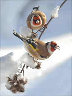 Goldfinch, Fairy Tales, Creatures, Birds, Holidays, Friends, Nature, Animals, Image